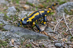 Fire salamander (Tobse.Photo) Tags: life wild mountain black nature berg animal animals yellow forest canon fire eos tiere nationalpark wildlife natur salamander berge salamandra harz lurch tier 30d lurche harzer feuersalamander