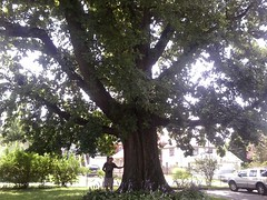 Bur Oak, Downingtown PA 18ft6in Cir (Redwood Reverence) Tags: trees amazing oak bur pa glorious burr enchanted downingtown pensylvania