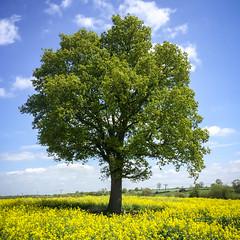 Nailstone Oak_254 (Bosworth Oak) Tags: tree english landscape countryside timelapse oak quercus seasons leicestershire iphone bosworth robur