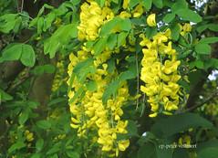 IMG_5925 (hemingwayfoto) Tags: golden ast natur pflanze mai gelb blüte baum strauch busch frühling giftig goldregen hängen zweig blühend zierstrauch sommerlich giftpflanze laburnumanapyroides schmetterlinsblüher