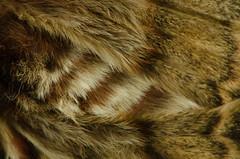 Borboleta grande pavão noturno (afmbrito) Tags: portugal nature natureza borboleta nocturnas vilareal 2015 saturniapyri ccv borboletapavão asasebicos andrébrito