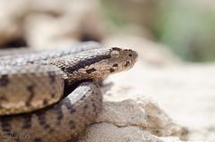 Lebanon Viper (Vipera bornmuelleri) -   (shanicy) Tags: viper hermon  israelnature