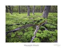 Mayapple Woods (baldwinm16) Tags: nature woodland season illinois spring woods midwest may il wildflower mayapple natureofthingsphotography