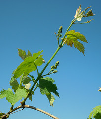 Juice Grape shoot and flower clusters (msuanrc) Tags: fruit grapes flowerclusters juicegrapeshoot