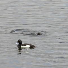 Brandon Marsh (amandabhslater) Tags: lake water birds naturereserve tuftedduck brandonmarsh