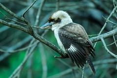 Kookaburra - DEL_8227-LRwm (lawde13) Tags: kookaburra dacelonovaeguineae
