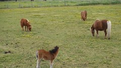 Minipferd (mama knipst!) Tags: horse cheval video cavalli pferd