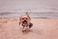 York dog playing on the beach. (PeterLakomy) Tags: ocean sea summer vacation dog pet lake beach yorkie wet water girl animal hair puppy fur relax fun happy coast jump jumping sand bath play friendship head yorkshire sandy horizon young free lifestyle dry canine running run terrier health coastal youthful bathing care carefree dogbeach active veterinary drowned moist yorkdog