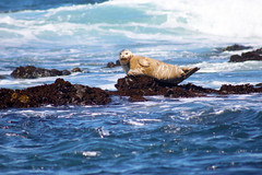 what are you looking at? (ca1rob) Tags: ocean blue portrait rocks waves pacificocean seal 1001nights cambria moonstonebeach ca1rob