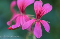 coming from the shadow... (frederic.gombert) Tags: pink flowers light shadow red summer sun plant flower macro green garden spring nikon geranium greatphotographers d810 macrodreams