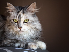 maine coon (peo pea) Tags: cat main felino gatto con