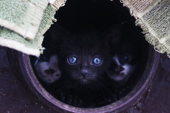 Three times more (dzepni_oktavo) Tags: pet white black cute beautiful animal cat small kittens mew