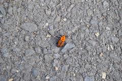 Picudo rojo (Rhynchophorus ferrugineus). Puerto de Ayamonte (Huelva) (galianolorenzo) Tags: insect insecto biogeografa biogeography fauna entomologa detalle geografaurbana urbangeography escarabajo coleptero ayamonte sedimentos huelva