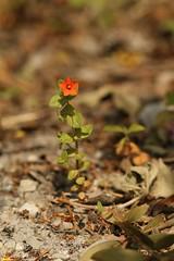 Scarlet Pimpernel (Derbyshire Harrier) Tags: scarlet mediterranean lipari aeolianislands scarletpimpernel 2016 pumicequarry anagallisarvensisssparvensis camobianco liparipumicequarry