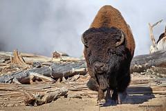 Furry Giant (820-Photography by James Anderson) Tags: volcano buffalo caldera yellowstonenationalpark wyoming geyser bison yellowstonecaldera