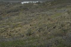 DSC_0600 (David.Sankey) Tags: denali denalinationalpark alaska park parks nationalparks nature wildlife mountains trees caribou reindeer deer mammalsofdenali animals