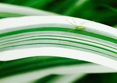 Beautiful green spider (dayonkaede) Tags: green spider olympus f28 em1 m40150mm