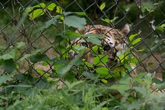 IMG_8261 (whereisjulie?) Tags: rescue tiger lion carolina cougar ocelot serval caracal kinkajou