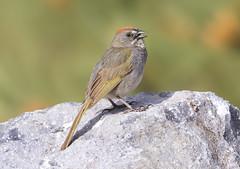 Green-tailed Towhee (Hockey.Lover) Tags: birds sierravalley greentailedtowhee sierravalley2016