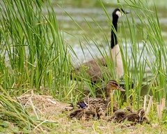 Duck, Duckling, Goose (brev99) Tags: birds duck pond ngc ducklings goose waterfowl tallgrass d7100 tamron70300vc highqualityanimals