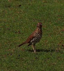 2016_05_0134 (petermit2) Tags: abbey nt yorkshire fountains worm fountainsabbey nationaltrust northyorkshire thrush studleyroyal songthrush studleypark riponstudleyroyalpark