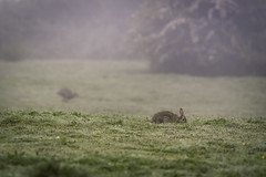 Bunnies in The Mist (craigmdennis) Tags: morning mist rabbit bunny bunnies nature field grass fog