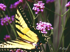 Chasing the Swallowtail (R.F. Lupo (random off and on-ness, more off)) Tags: flowers black green yellow butterfly purple greenery elusive swallowtail fluttering chasing chased bellsdaylilygarden