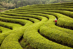 Beautiful curves of Tea plantation at Shui MenCha Gang (FineArt2C) Tags: china tea teaplantation trishedwardsphotographerdigitalartist