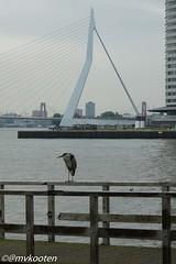 Rotterdam (@mvkooten) Tags: bridge bird heron rotterdam erasmus maas reiger erasmusbrug