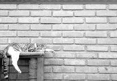 Fer, pura paz (Gwenlsh) Tags: paz sleep gato cat fer