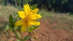 farol (Rodrigo Alceu Dispor) Tags: flower macro farol