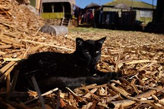 Black cat (Julien Falissard) Tags: city lake black peru uros titicaca nature port cat island boat chat eau floating lac ciel condor bateau roseaux ville puno les prou flottantes