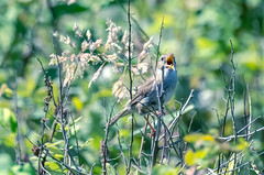 Marsh Wren in a happy moment (zxorg) Tags: colonyfarms coquitlam bc bird perchingbird singingbird marshwren