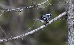 Black-and-white Warbler, Monchy Road (frank.king2014) Tags: ca canada gander blackandwhitewarbler newfoundlandandlabrador