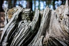 20160610-021 (sulamith.sallmann) Tags: pflanzen baum baumstamm brandenburg deutschland germany holz oberflche oderspree plants schlaubetal struktur surface tree wood deu sulamithsallmann