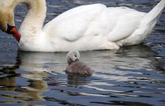 Swan with Cygnet (1705) (shelleyK2) Tags: nature swan wildlife cygnet sigma isleofman springwatch canon60d