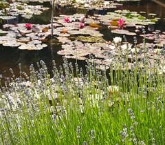 P6303708 (louisecrouch) Tags: reflection nature garden outdoors pond lilies lilypads lilypond summerflowers pondplants summergarden countrygarden waterliles lilyflowers