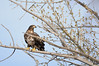 Juvenile Bald Eagle (cebuphotographer) Tags: utah eagle bald nikoncapturenx nikond300 nikon200500mmf56