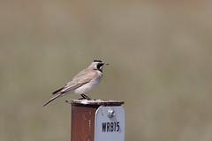 Horned Lark (Steve Creek) Tags: birds utah antelopeislandstatepark hornedlark