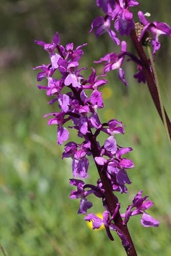 Early Purple Orchid - Orchis mascula