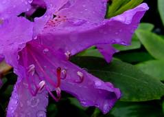 Na de regenbui/After the shower of rain. (truus1949) Tags: tuin bloemen
