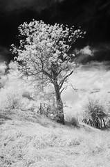 IMGP2754 (ivrabec985) Tags: trees nature pentax infrared hoya r72 k30 da15