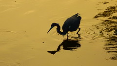 Tri-colored Heron at sunset. (Jim Mullhaupt) Tags: sunset wallpaper lake bird heron nature water silhouette landscape pond lowlight nikon flickr florida wildlife p900 swamp coolpix bradenton iso1600 wader tricolored mullhaupt nikoncoolpixp900 coolpixp900 nikonp900 jimmullhaupt