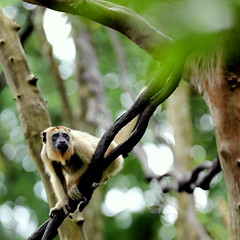 Female Black Howler Monkey Moving Around On Tree (grass-lifeisgood) Tags: black nature animal fauna forest canon zoo monkey is moving outdoor wildlife telephoto ii behavior habitat primate ef active zoology 70200mm howler f28l