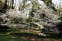 IMG_0135 (jnshaumeyer) Tags: arboretum dogwood usnationalarboretum