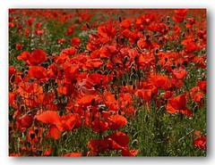 Mohnblumenfeld (Gerhard Kgler) Tags: sterreich feld niedersterreich blumau brachland mohnblume rotgrn blumenmeer feldblumen brachliegend