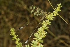 Kingdom: Animalia / Phylum: Arthropoda  Clase  Insecta / Orden  Neuroptera  Suborden  Myrmeleontiformia  Familia  Nemopteridae / Subfamilia  Nemopterinae  Nemoptera bipennis (alcedofoto.) Tags: