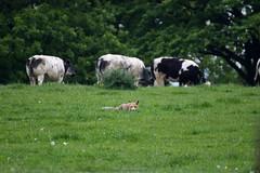 IMG_3447 (dernich) Tags: forest canon belgium belgique wildlife ardennes champs fox 70300mm tamron foret roux wallonie renard 600d campagnes