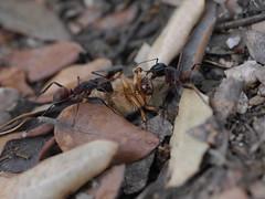 P1030884 (Dr Zoidberg) Tags: hormigas escarabajo zuiko50mmmacro