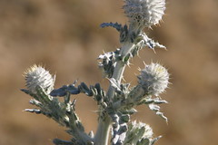 (joedecruyenaere) Tags: cirsium asteraceae cirsiumoccidentale mojavedesert kerncounty tehachapimountains